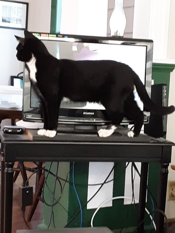 picture of cat blocking entire TV screen